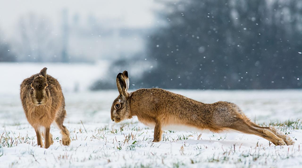 Фотография Зайцы Отжимание 2 Снег Животные Двое вдвоем