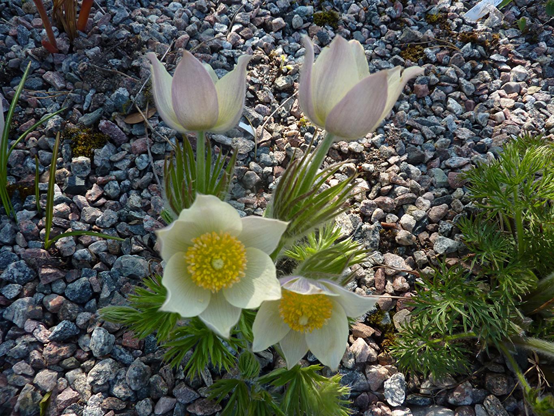 Фото Цветы Прострел Камни вблизи цветок Камень Крупным планом