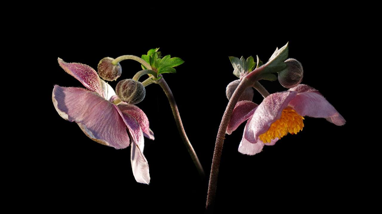 Обои для рабочего стола Розовый цветок Анемоны Бутон Черный фон Крупным планом розовых розовые розовая Цветы Ветреница вблизи на черном фоне