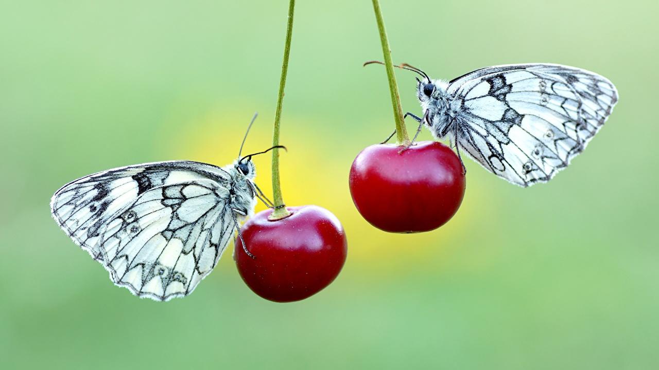 Фото Бабочки Pieridae Двое Черешня животное бабочка 2 два две вдвоем Вишня Животные