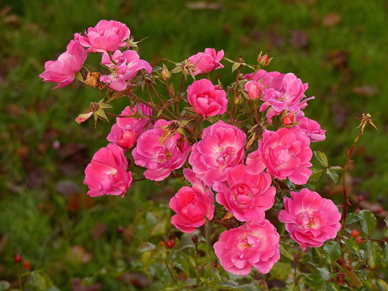 Картинки роза Розовый Цветы Крупным планом Розы розовая розовые розовых цветок вблизи