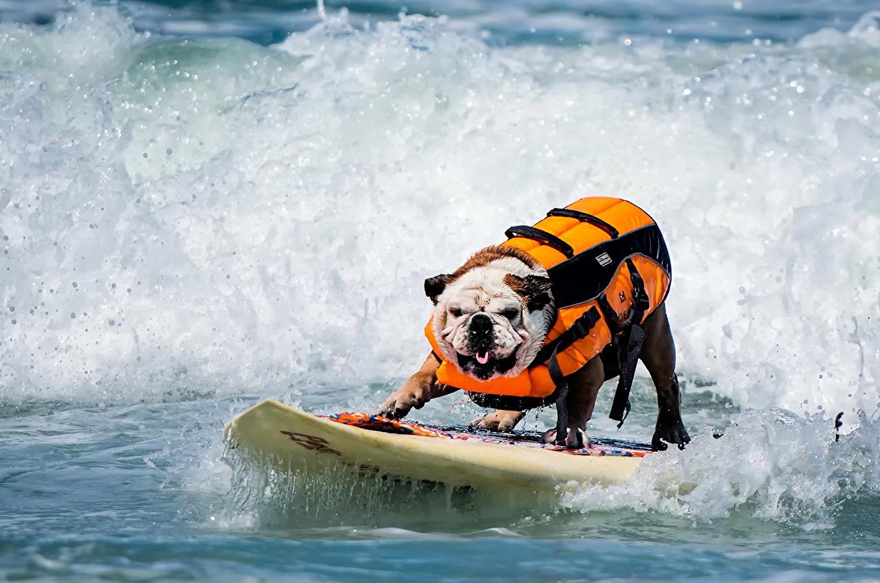 Фотография Собаки Серфинг Волны Животные собака животное