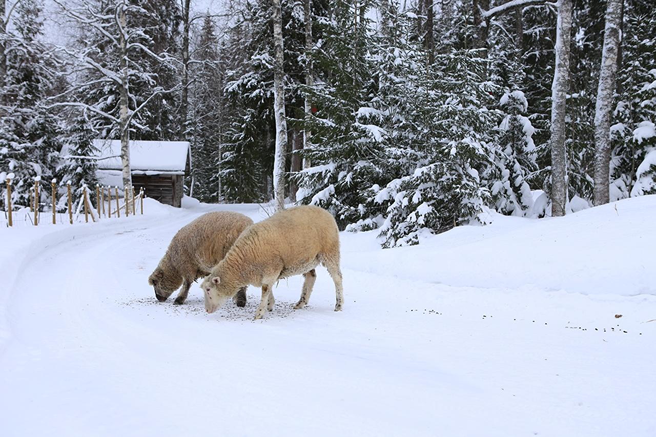 Фотографии Овцы 2 Зима Снег Животные Двое вдвоем зимние