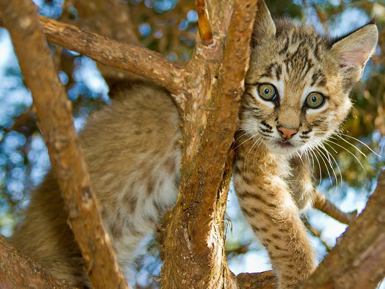 Фотография Большие кошки Детеныши Ветки Животные ветвь ветка на ветке животное
