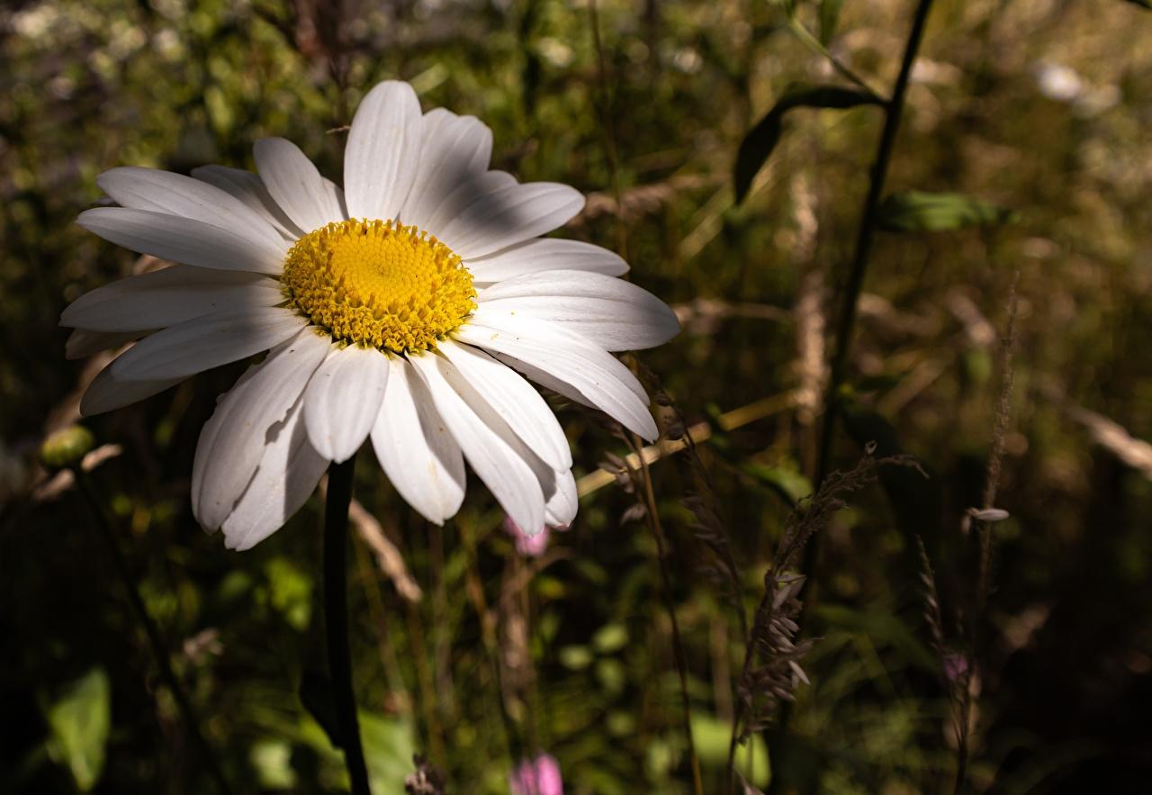 Фотографии Размытый фон Цветы Ромашки Крупным планом боке цветок ромашка вблизи