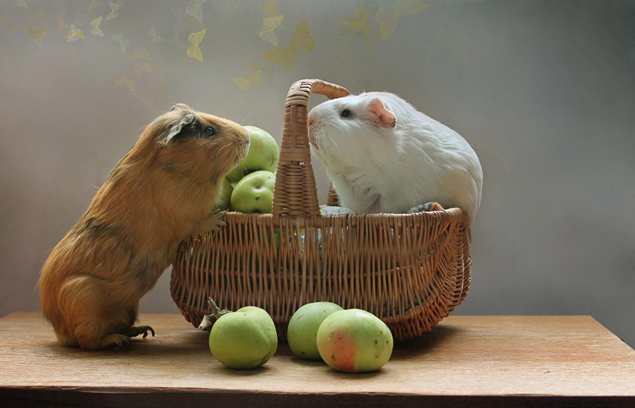 Фотография Морские свинки вдвоем Яблоки корзины животное 2 два две Двое Корзина Корзинка Животные