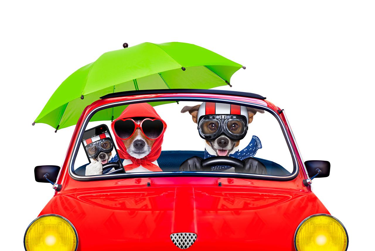 Фото Джек-рассел-терьер Собаки смартфоны смешная две Очки зонтом Животные белым фоном собака Смартфон сматфоном смешной Смешные забавные 2 два Двое вдвоем Зонт очков очках зонтик животное Белый фон белом фоне