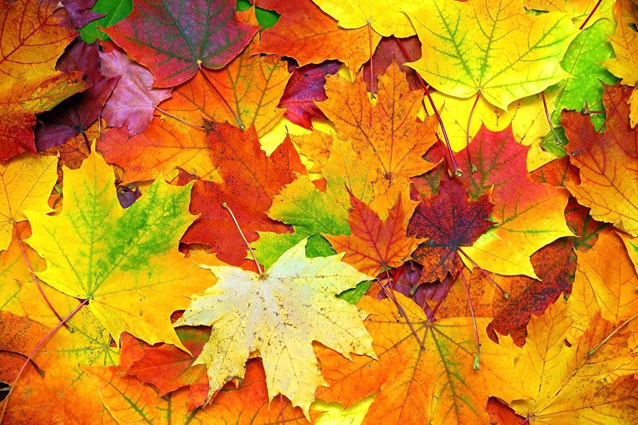 Фотографии Листья Текстура Клён Осень Природа лист Листва клёна клёновый осенние