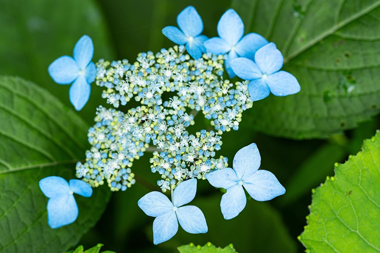 Обои для рабочего стола Размытый фон голубые Цветы Гортензия вблизи боке голубая Голубой голубых цветок Крупным планом