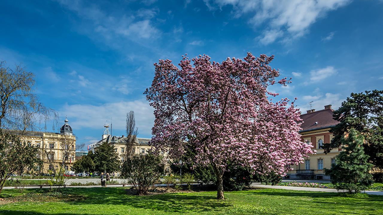 Фотография Загреб Хорватия Магнолия газоне Города кустов Здания Цветущие деревья Газон Дома город Кусты