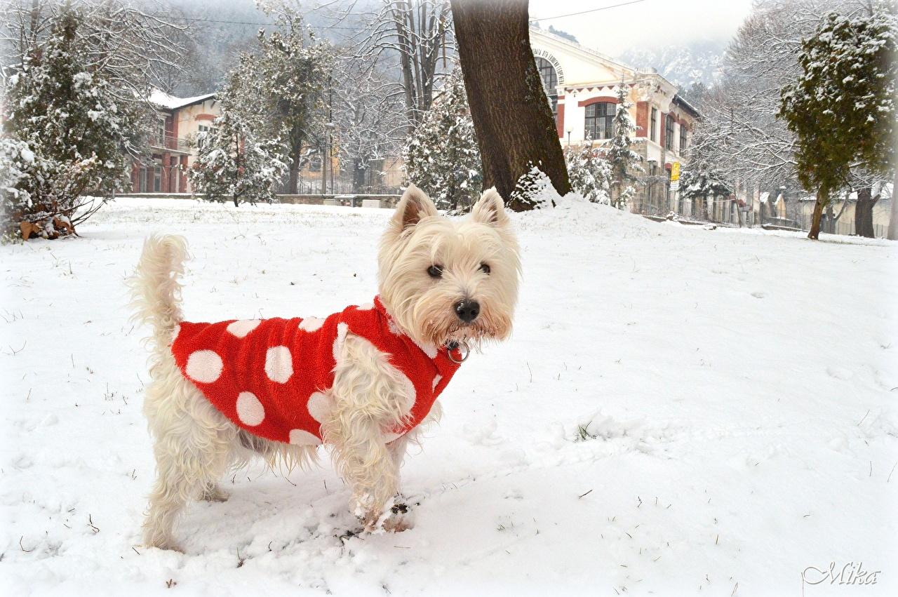 Фотографии Вест хайленд уайт терьер собака Зима снеге животное Собаки зимние Снег снегу снега Животные
