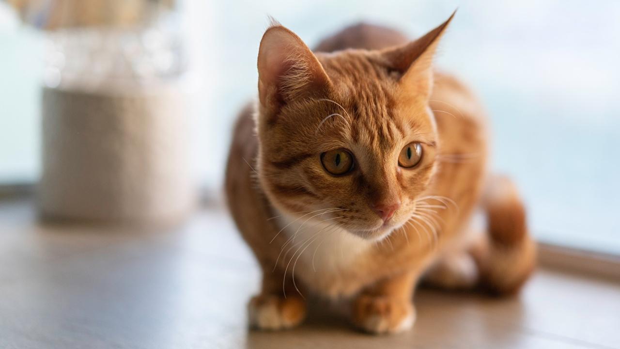 Фото коты Рыжий Взгляд Животные кот Кошки кошка рыжая рыжие смотрит смотрят животное