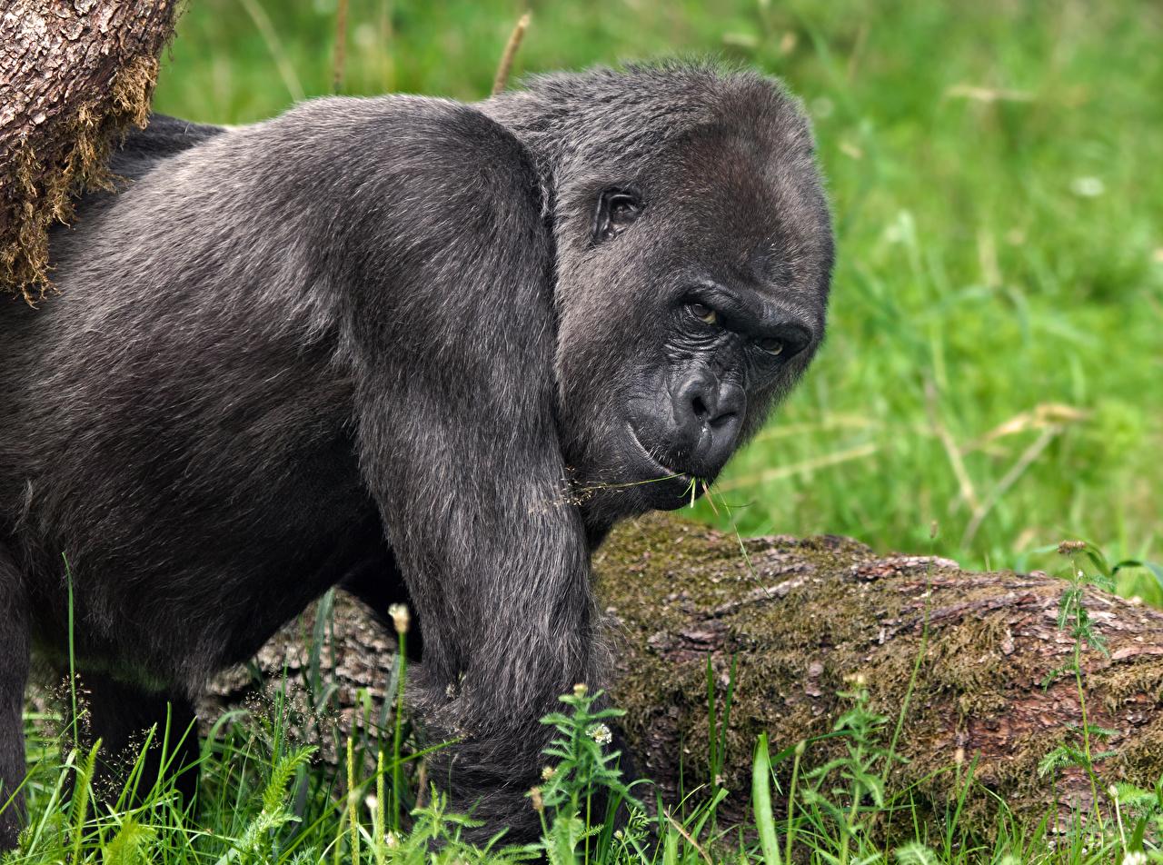 Фото Обезьяны Взгляд Животные обезьяна смотрит смотрят животное