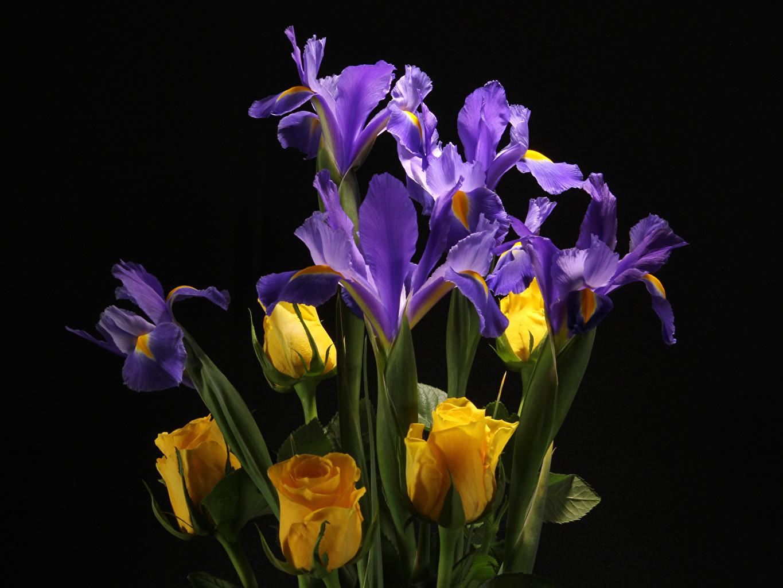 Фото Розы Цветы Ирисы вблизи Черный фон Крупным планом