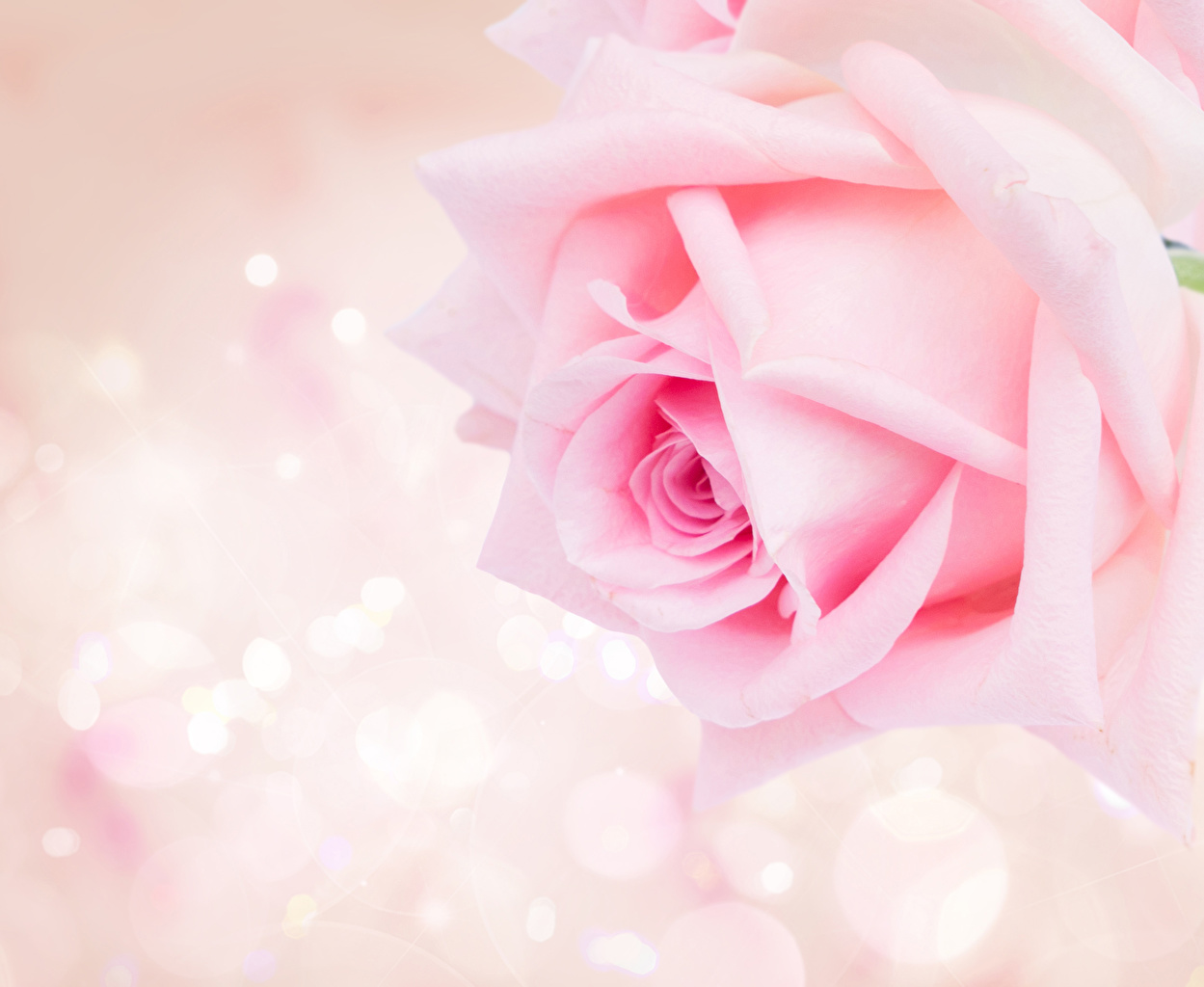 Картинка Розы розовых Цветы вблизи Розовый розовые розовая Крупным планом