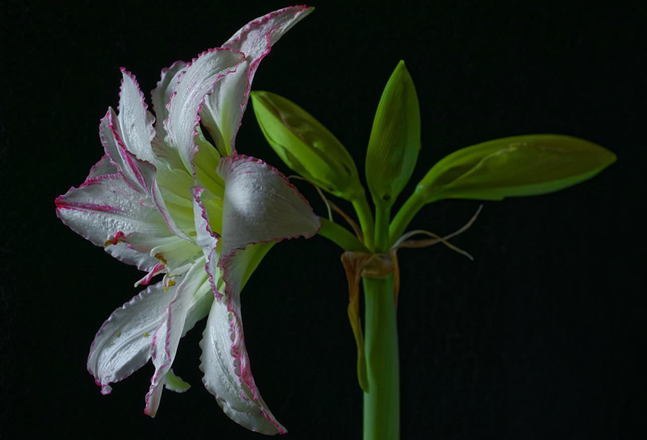 Фото белая Цветы Амариллис Черный фон Крупным планом белых белые Белый цветок вблизи на черном фоне