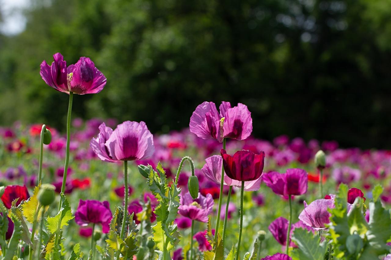 Фото розовых мак цветок Много Бутон розовая розовые Розовый Маки Цветы