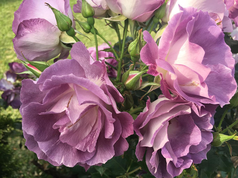 Картинки роза цветок Бутон вблизи Розы Цветы Крупным планом