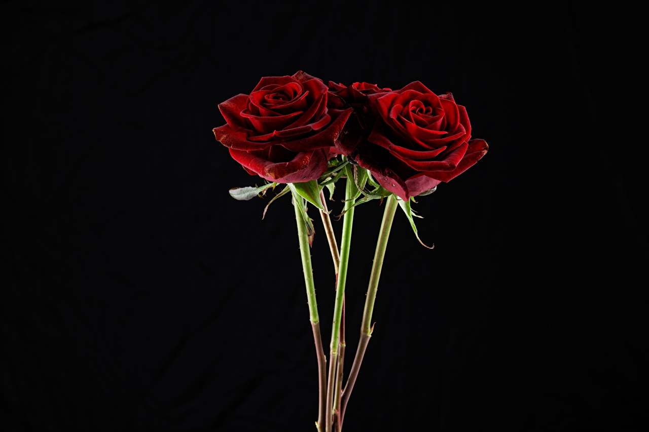 Фотографии букет роза Красный цветок на черном фоне Букеты Розы красная красные красных Цветы Черный фон