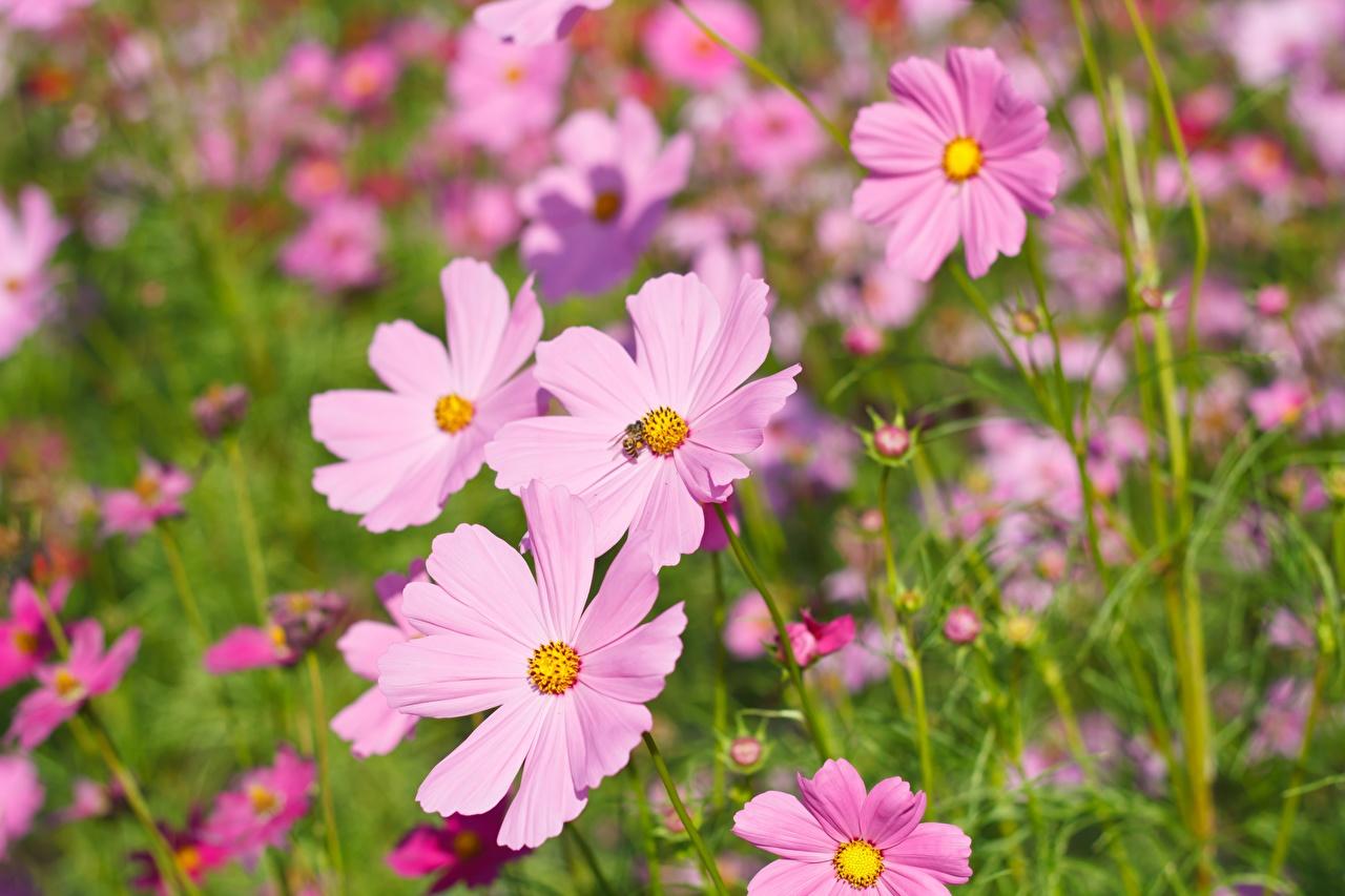 Обои для рабочего стола розовая Цветы Космея Крупным планом Розовый розовые розовых цветок вблизи