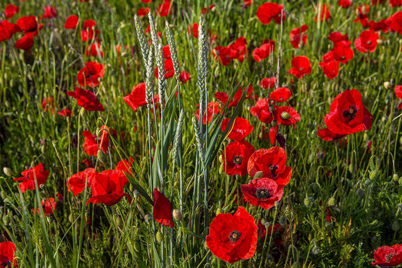 Обои для рабочего стола Красный Поля Маки Колос Цветы красная красные красных мак цветок колосок колоски колосья