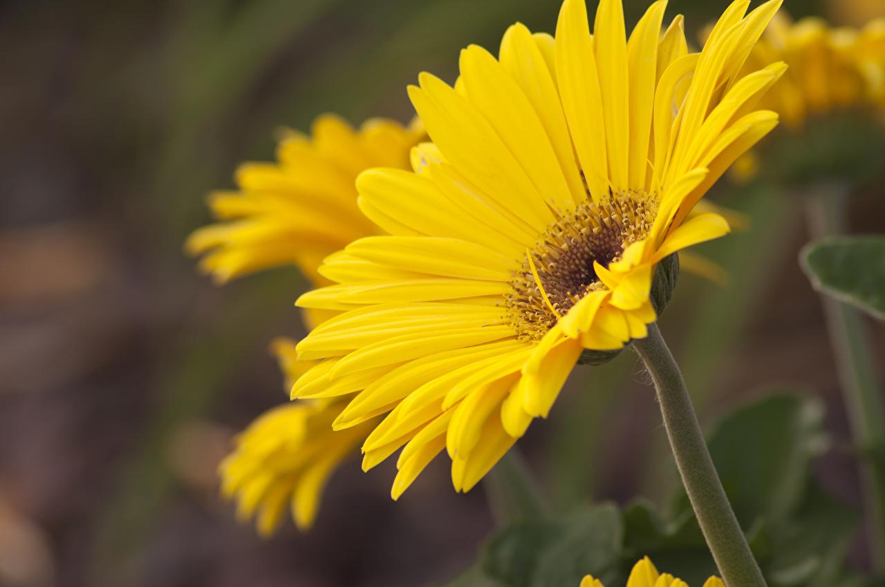 Фотографии желтых Герберы цветок вблизи желтые желтая Желтый гербера Цветы Крупным планом