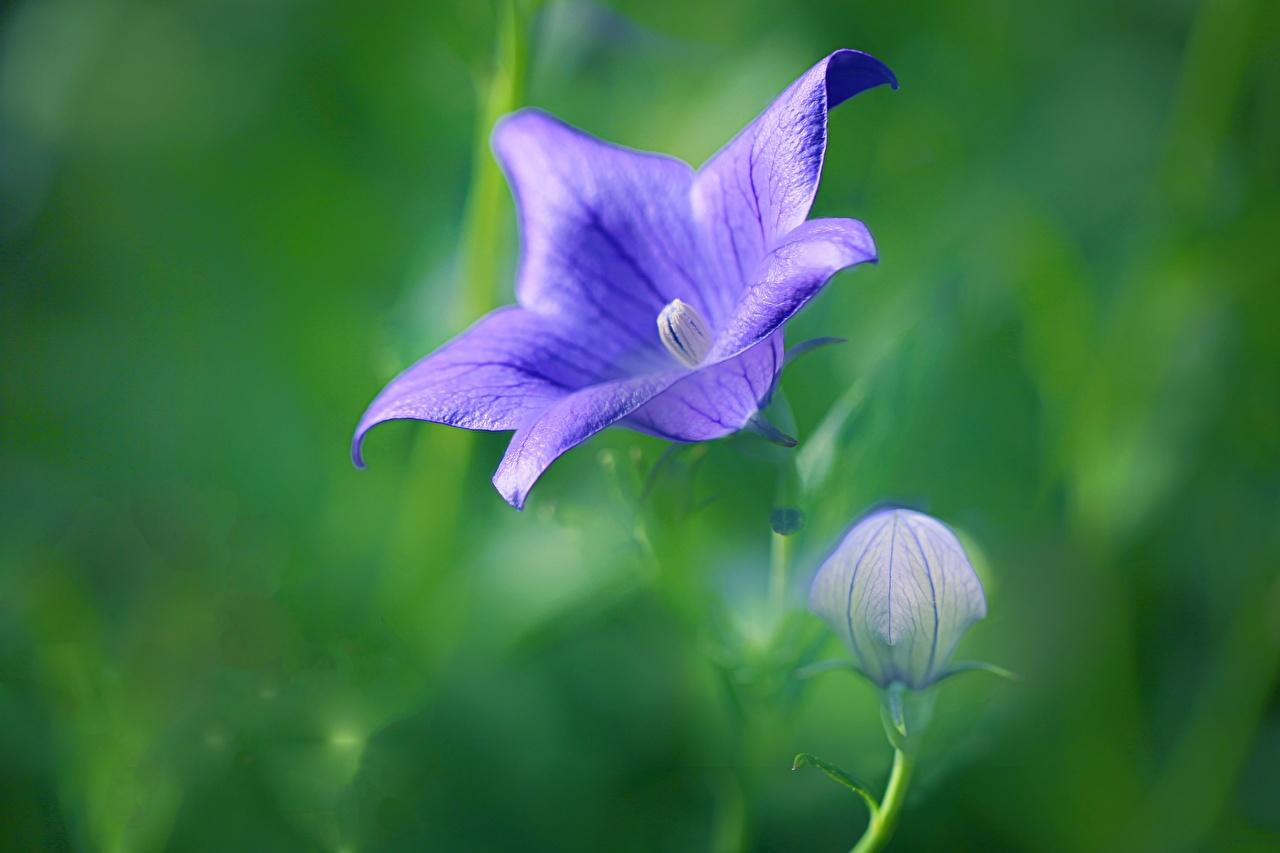 Фото боке фиолетовых цветок колокольчик Бутон Крупным планом Размытый фон фиолетовая фиолетовые Фиолетовый Цветы Колокольчики вблизи