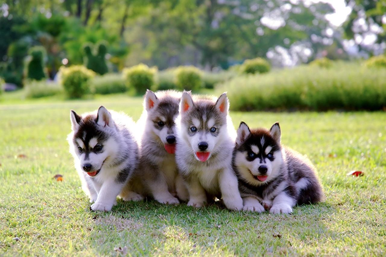 Картинки животное щенки Хаски собака траве Четыре 4 Животные Щенок щенка щенков Собаки Трава