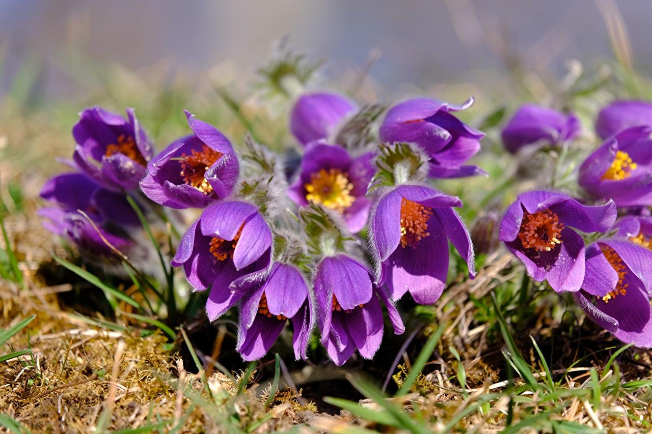 Фотография фиолетовая Цветы Прострел вблизи Фиолетовый фиолетовые фиолетовых цветок Крупным планом