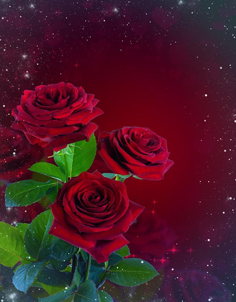 Картинка Листья Букеты Розы Цветы Шаблон поздравительной открытки красном фоне  для мобильного телефона лист Листва букет роза цветок Красный фон