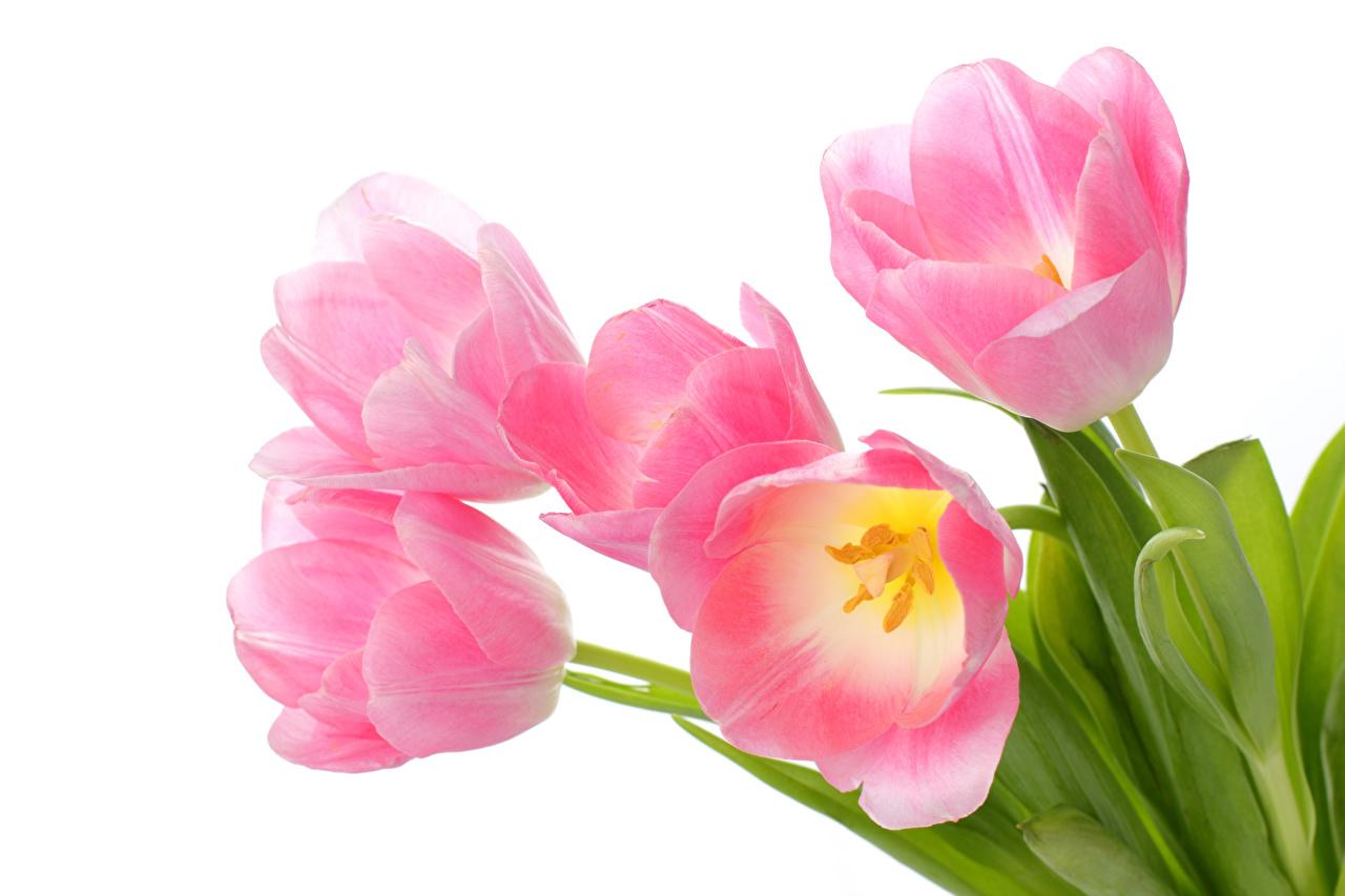 Картинка тюльпан розовая Цветы вблизи Белый фон розовые Розовый розовых Тюльпаны цветок белом фоне белым фоном Крупным планом