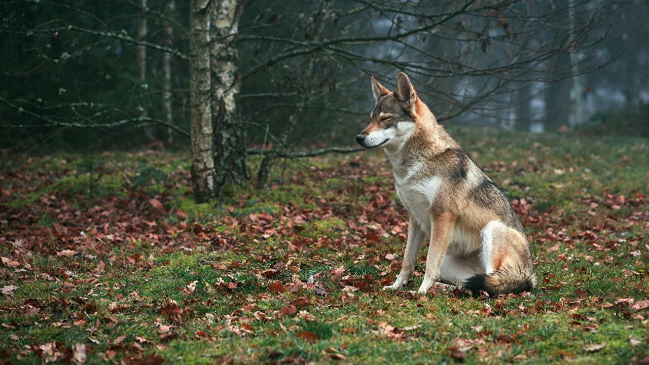 Картинка волк лист Трава сидящие Животные Волки Листья Листва сидя Сидит траве животное