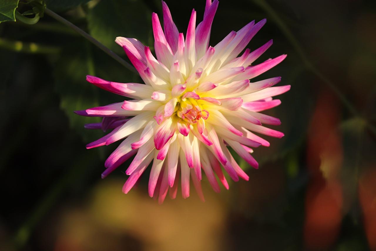 Фотографии Размытый фон розовые цветок Георгины Крупным планом боке розовая Розовый розовых Цветы вблизи