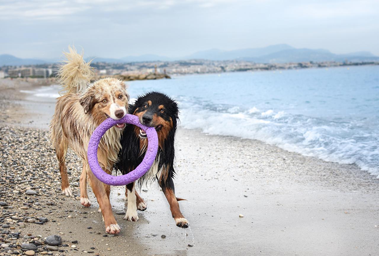 Обои Австралийская овчарка Собаки вдвоем берег Мокрые Животные 2 Двое Побережье