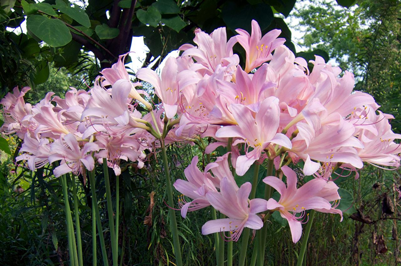 Фотографии лилия розовых цветок Много Лилии Розовый розовая розовые Цветы