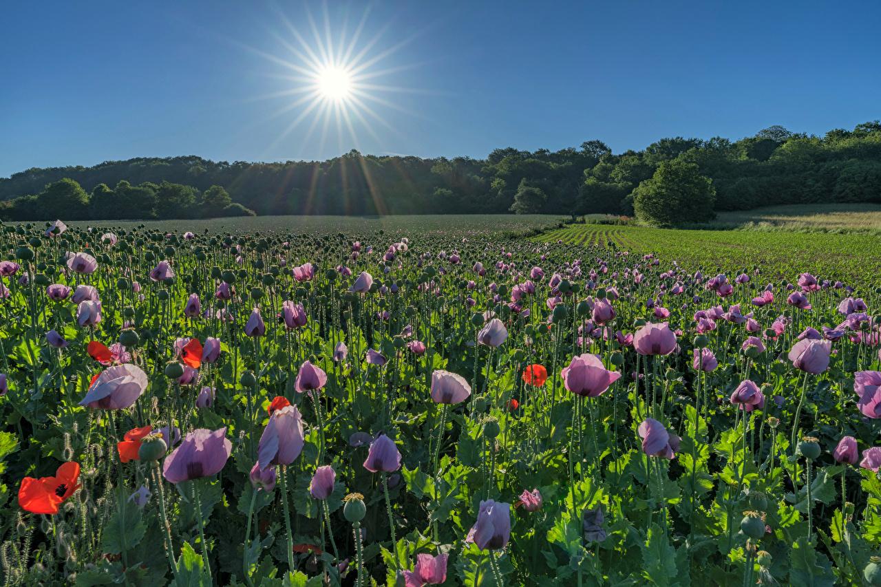 Фото Германия Saarland солнца Природа Поля Маки Солнце мак