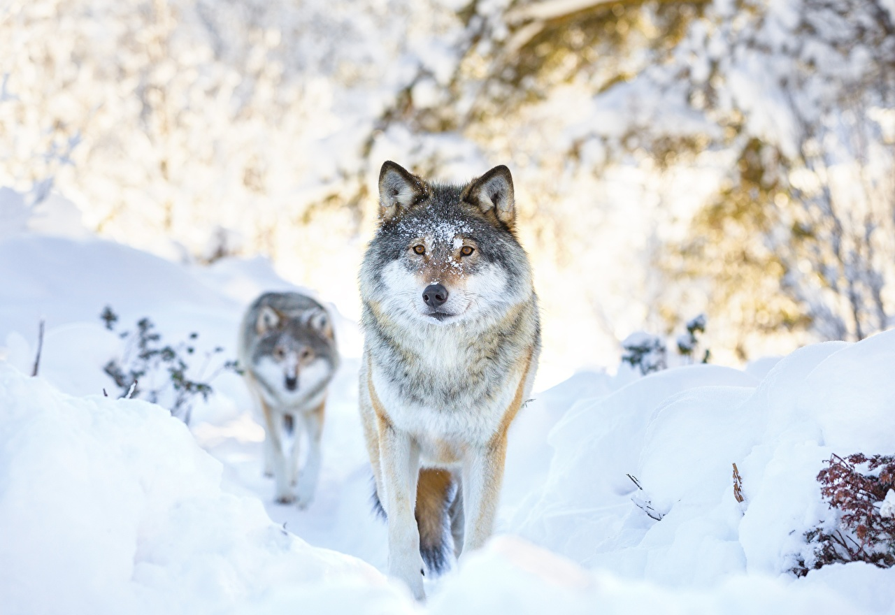 Фотография волк 2 Зима Снег животное Волки два две Двое зимние вдвоем снега снегу снеге Животные