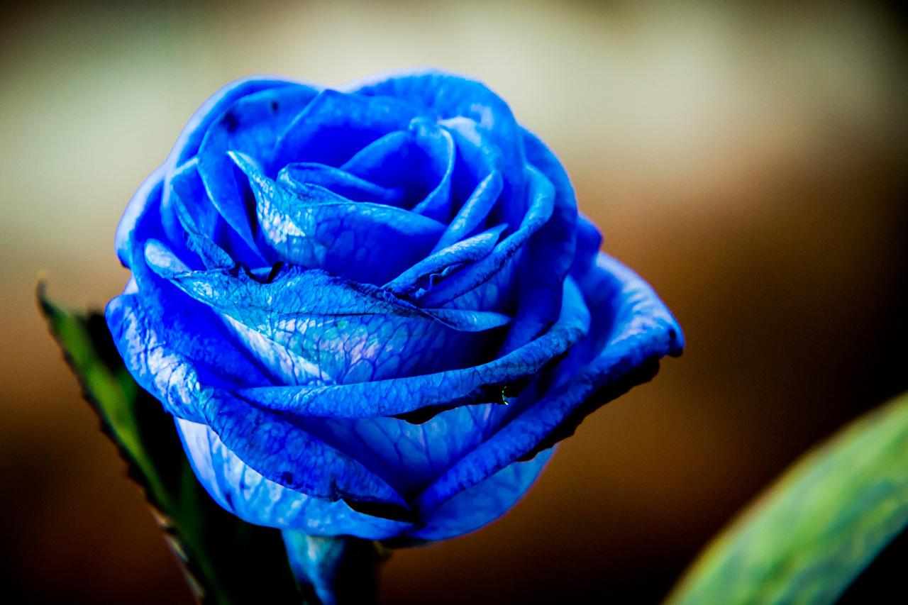Обои для рабочего стола Розы синих цветок Крупным планом роза Синий синяя синие Цветы вблизи