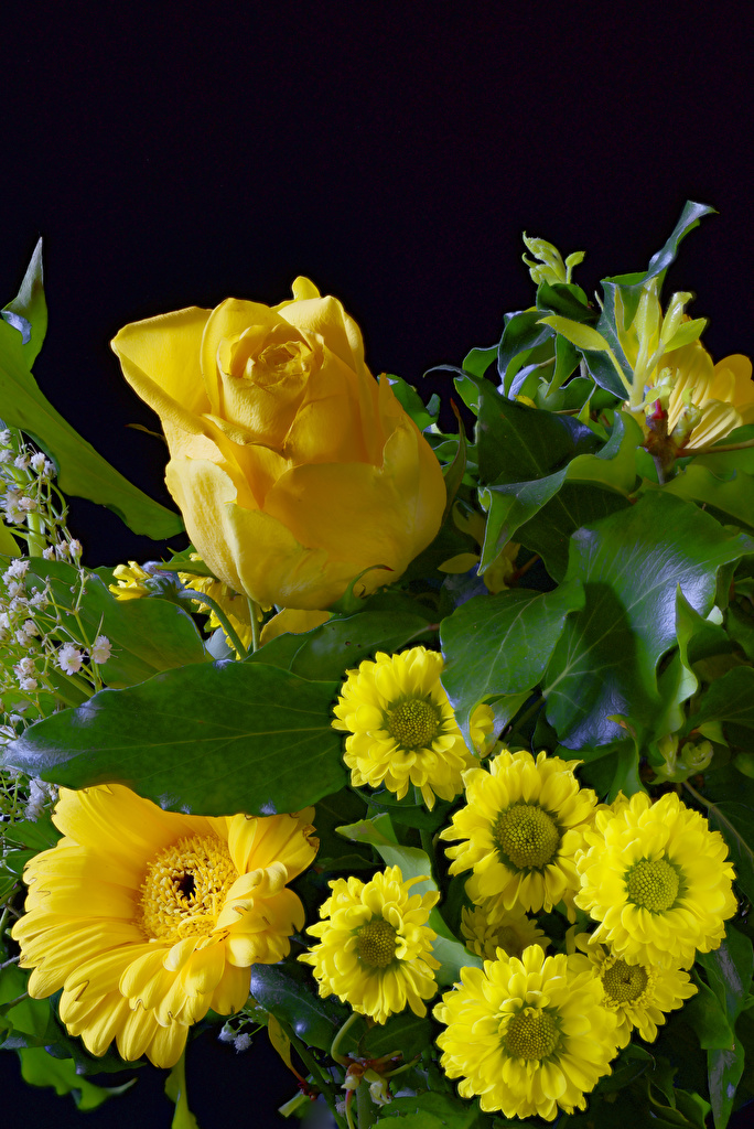 Картинка роза Желтый Герберы цветок Хризантемы Черный фон  для мобильного телефона Розы желтая желтые желтых гербера Цветы на черном фоне