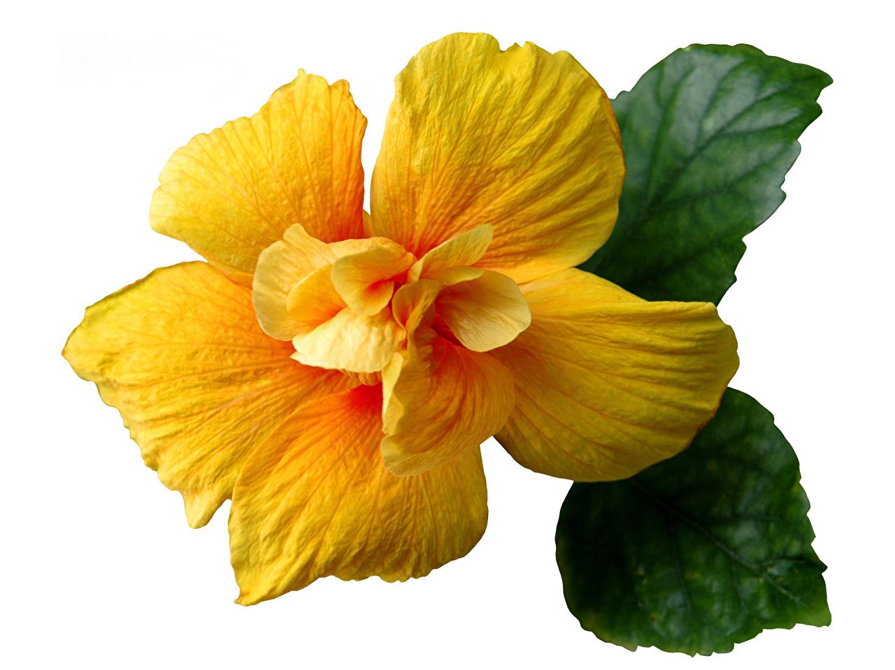Фотографии желтая Цветы Гибискусы Крупным планом Желтый желтые желтых цветок вблизи