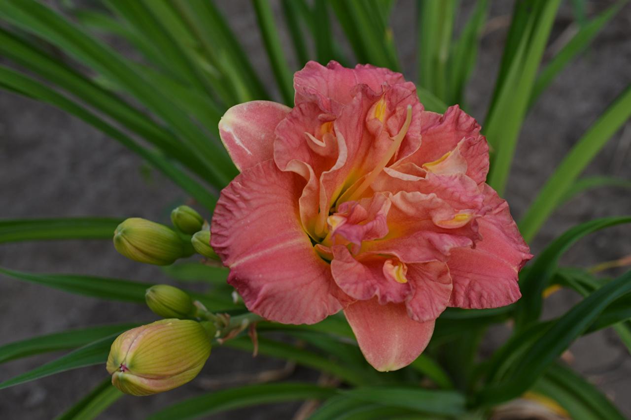 Картинка Лилии розовых цветок Бутон лилия Розовый розовая розовые Цветы