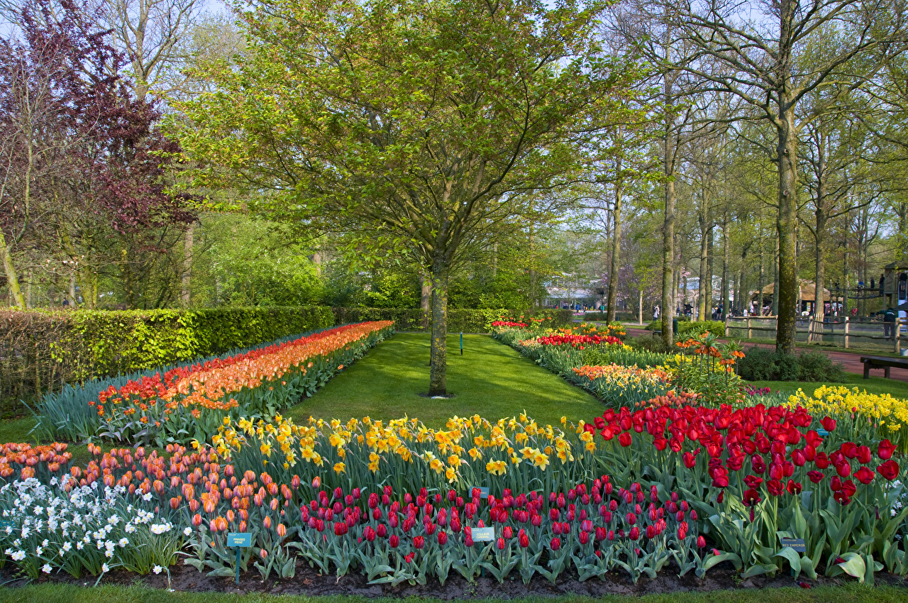 Фотография Нидерланды Keukenhof Lisse Природа Тюльпаны Парки Нарциссы Деревья Дизайн
