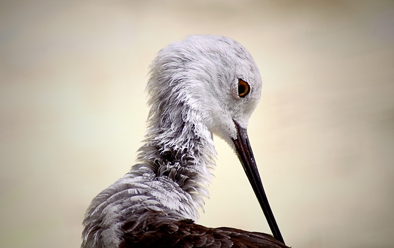Фотография Птицы Black-winged stilt Клюв Голова Животные птица головы животное