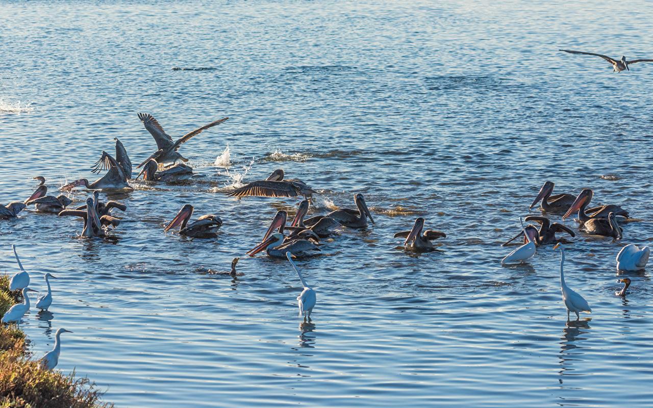Фото Птицы Пеликаны воде Много животное птица Вода Животные