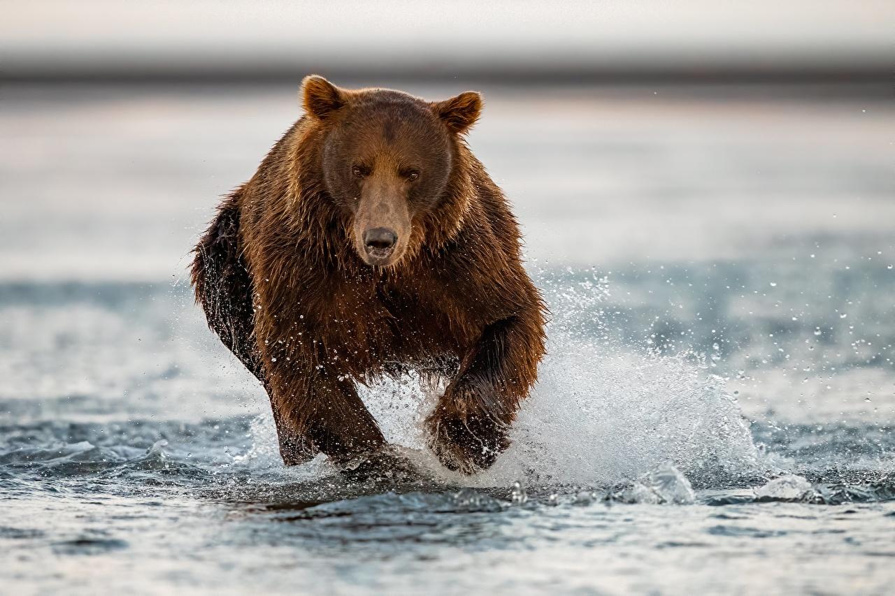 Картинка Бурые Медведи медведь Бег воде Животные Гризли Медведи бежит бегущая бегущий Вода животное