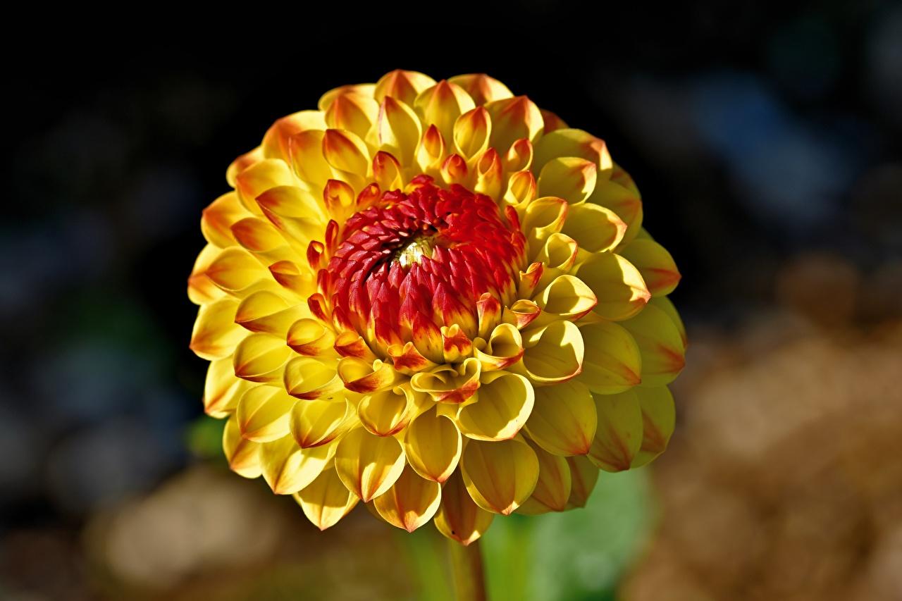 Обои для рабочего стола Размытый фон желтые Цветы Георгины Крупным планом боке желтая Желтый желтых цветок вблизи