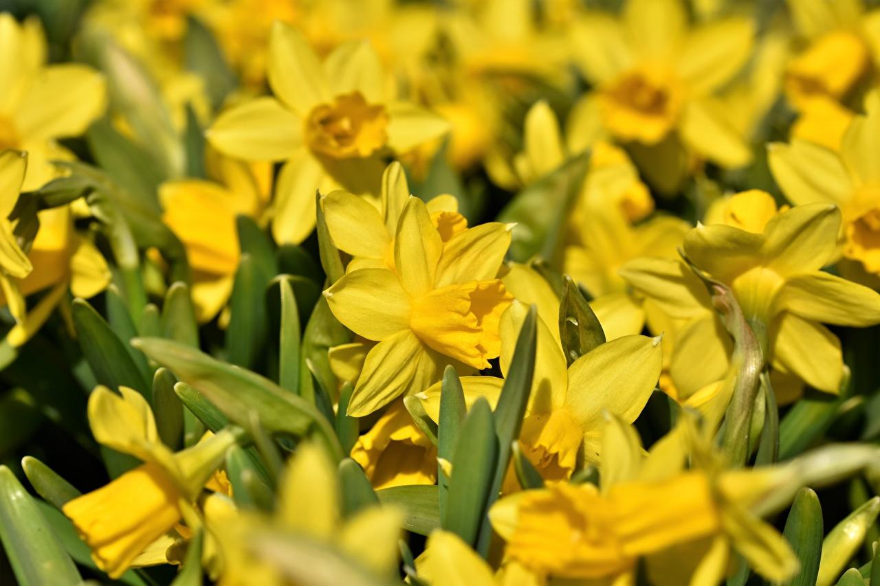 Фотографии желтая Цветы Нарциссы Много Желтый желтые желтых цветок