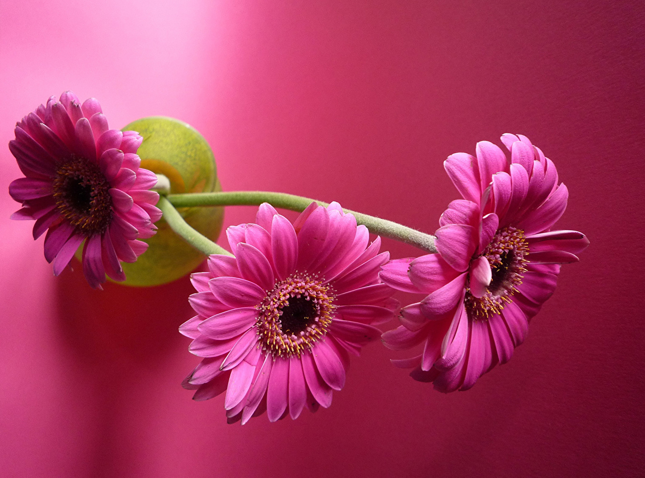 Картинки три Герберы Природа Розовый фон Крупным планом розовые Трое 3 втроем гербера вблизи розовая Розовый розовых
