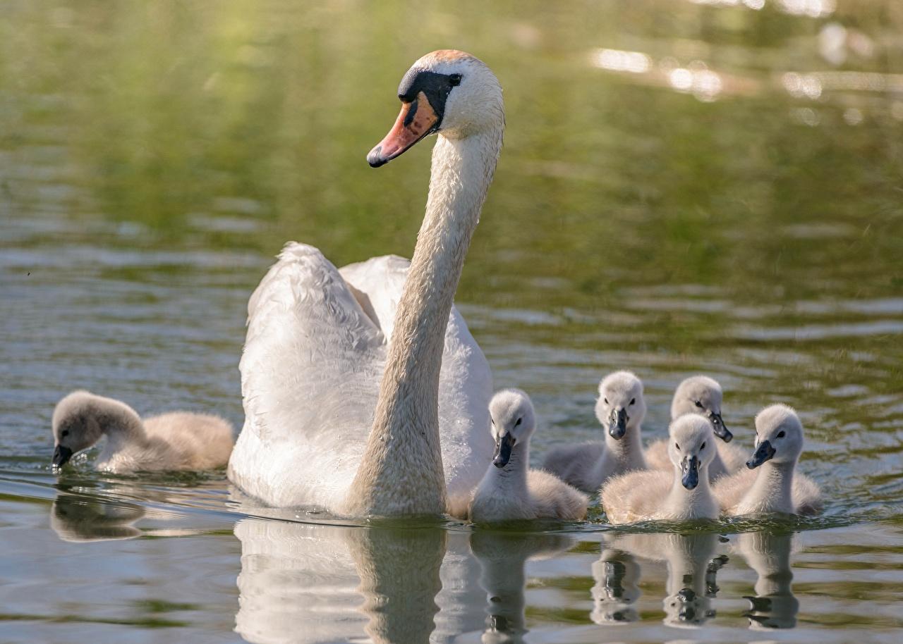 Фотография Лебеди Белый Вода Животные