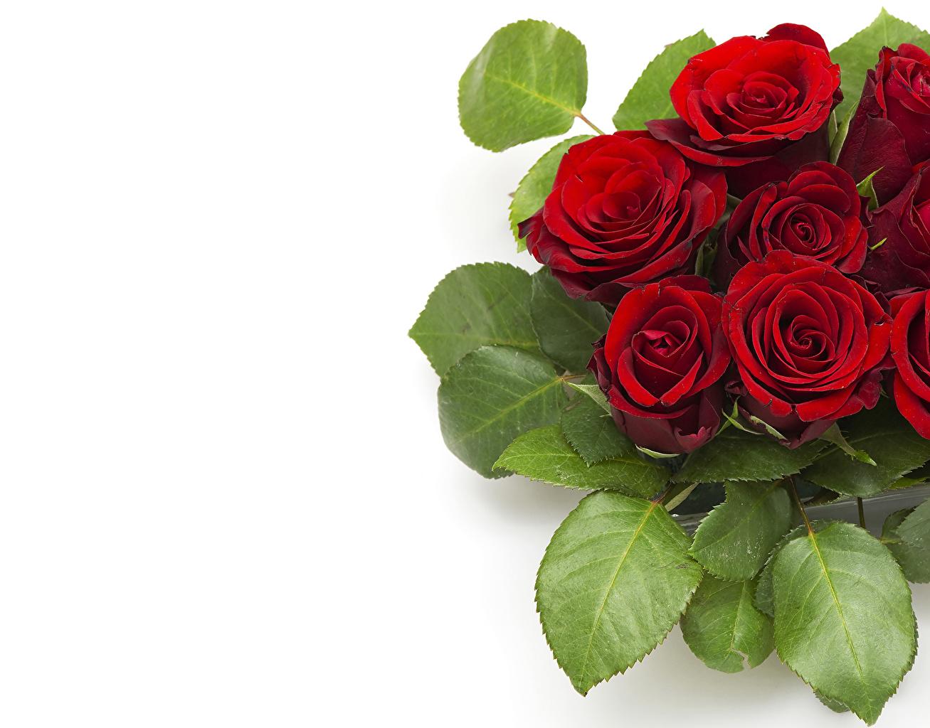 Обои для рабочего стола Розы темно красный Цветы роза бордовая бордовые Бордовый цветок